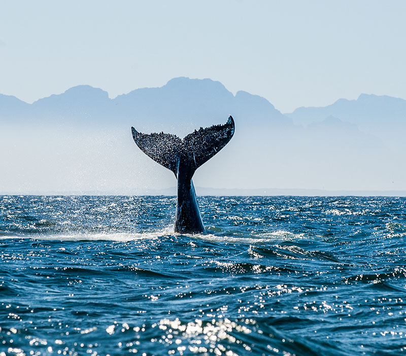 A humpback whale tail waves from the ocean. Environmental sustainability is a key part of the oil and gas industry in Newfoundland and Labrador.